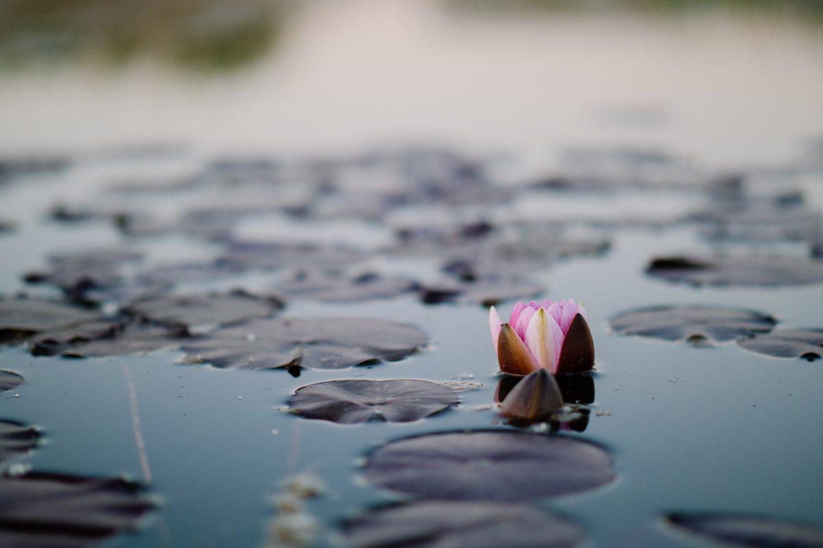 Unopened lotus on lake